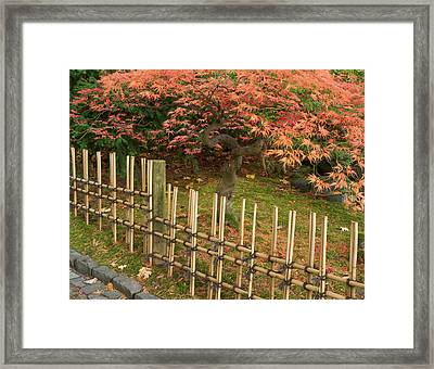 Japanese Maple, Acer Palmatum, In Fall Framed Print by William Sutton