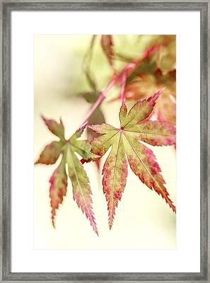 Japanese Maple Framed Print by Caitlyn  Grasso