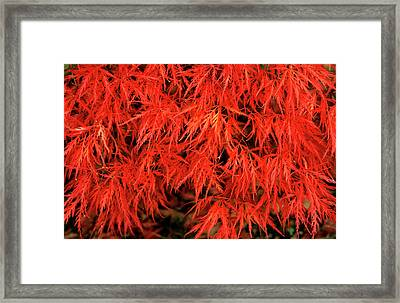 Japanese Maple 'dissectum Nigrum' Framed Print by Andrew Ackerley/science Photo Library