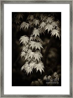 Japanese Maple In Sepia  Framed Print by Tim Gainey