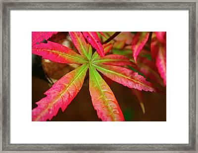 Japanese Maple Framed Print by Kara  Stewart