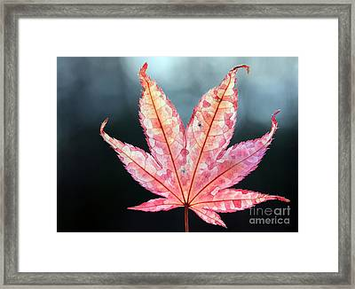 Framed Print featuring the photograph Japanese Maple Leaf - 1 by Kenny Glotfelty