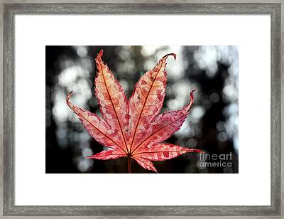 Framed Print featuring the photograph Japanese Maple Leaf - 2 by Kenny Glotfelty