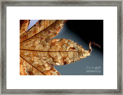 Japanese Maple Leaf Brown - 1 Framed Print