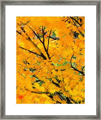 Japanese Maple Leaves Blowing In Wind Framed Print by Robert Jensen
