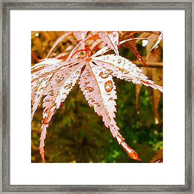 Japanese Maple Leaves Framed Print