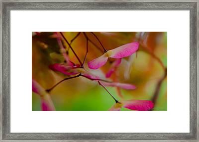 Japanese Maple Seedling Framed Print by Brenda Jacobs
