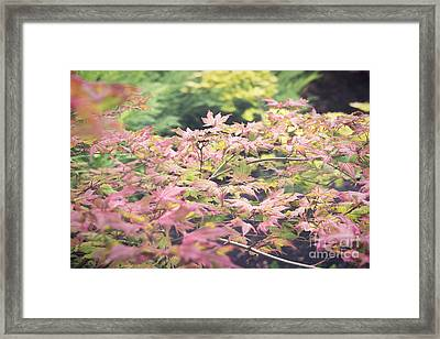 Japanese Maples Framed Print by Ivy Ho