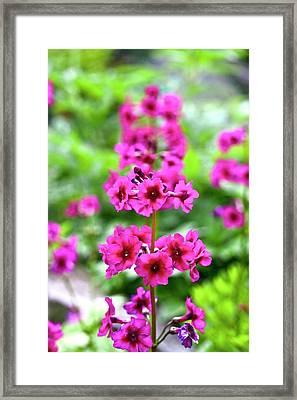 Japanese Primrose (primula Japonica) Framed Print by Dan Sams