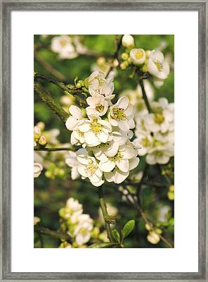 Japanese Quince (chaenomeles Speciosa) Framed Print by Adrian Thomas