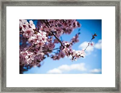 Japanese Sakura Framed Print by Anthony Citro