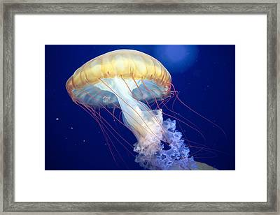 Japanese Sea Nettle Chrysaora Pacifica Framed Print by Mary Lee Dereske