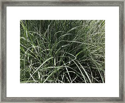 Japanese Silver Grass Framed Print by Ron Torborg