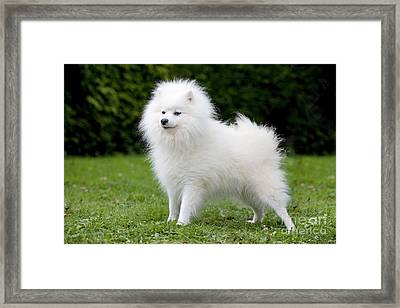 Japanese Spitz Dog Framed Print by Jean-Michel Labat
