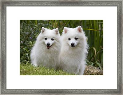 Japanese Spitz Dogs Framed Print by Jean-Michel Labat