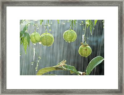 Japanese Tree Frog And Balloon Vine Framed Print by Shinji Kusano