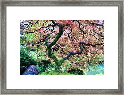 Japanese Tree In Garden Framed Print