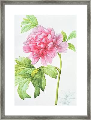 Japanese Tree Peony Framed Print by Pierre Joseph Redoute