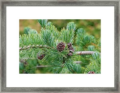 Japanese White Pine (pinus Parviflora) Framed Print by Dr. Nick Kurzenko