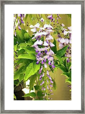 Japanese Wisteria (wisteria Floribunda) Framed Print by Adrian Thomas