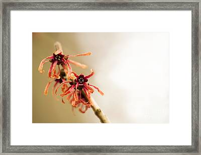 Japanese Witch Hazel Framed Print