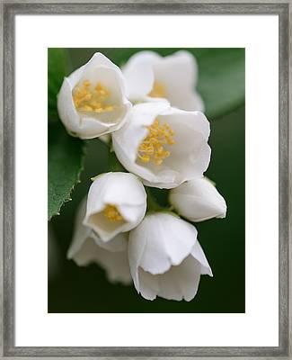 Jasmin Flowers Framed Print