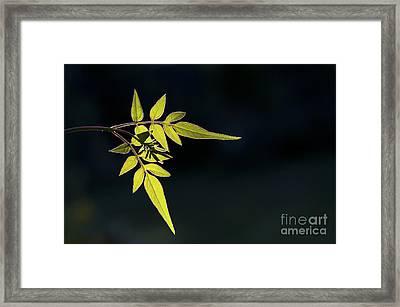 Jasmine Leaves  Framed Print
