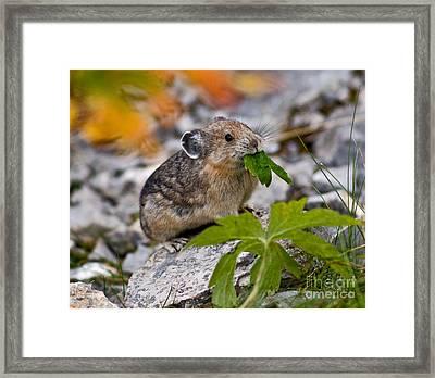 Jasper - Pika Framed Print