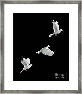 Java Dove In Flight Framed Print by Stephen Dalton