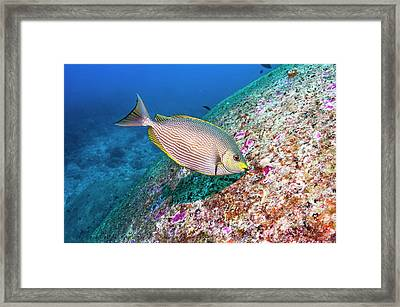 Java Rabbitfish Grazing On Algae Framed Print by Georgette Douwma/science Photo Library