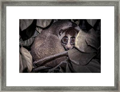 Javan Slow Loris Framed Print