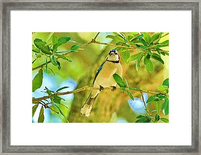 Jay In The Tree Framed Print by Deborah Benoit