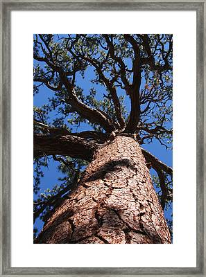 Jeffrey Pine Framed Print