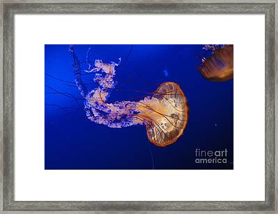 Jelly Fish 1 Framed Print by Mark McReynolds