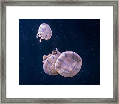 Jellyfish 2 Framed Print by Steve Harrington