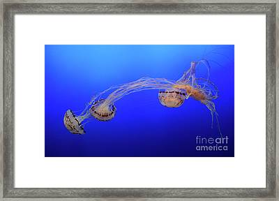Jellyfish 7 Framed Print