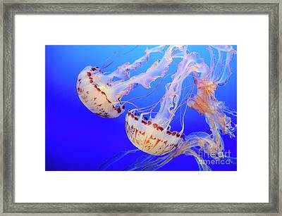 Jellyfish 9 Framed Print by Bob Christopher