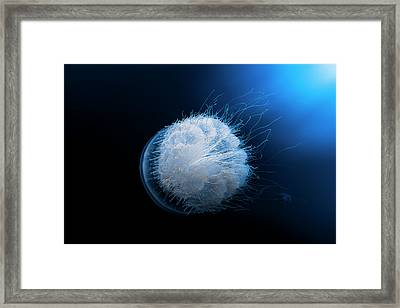 Jellyfish Framed Print by Barathieu Gabriel