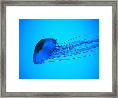 Jellyfish  Framed Print by Elizabeth Fredette