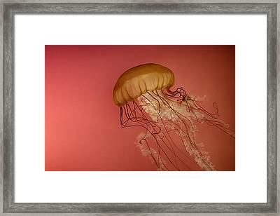 Jellyfish Framed Print by Mike Burgquist