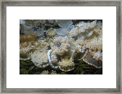 Jellyfish - National Aquarium In Baltimore Md - 121214 Framed Print by DC Photographer