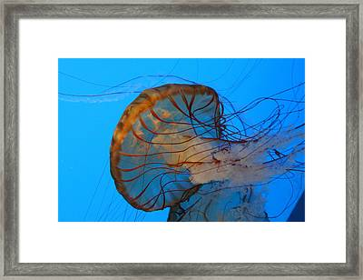 Jellyfish - National Aquarium In Baltimore Md - 121225 Framed Print by DC Photographer