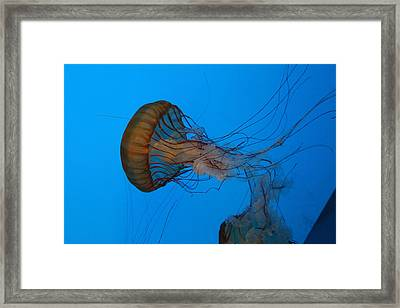 Jellyfish - National Aquarium In Baltimore Md - 121226 Framed Print by DC Photographer