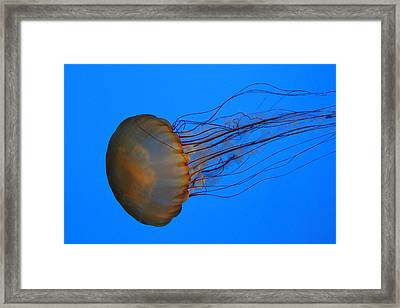 Jellyfish - National Aquarium In Baltimore Md - 121227 Framed Print by DC Photographer