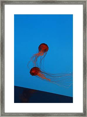 Jellyfish - National Aquarium In Baltimore Md - 121229 Framed Print by DC Photographer