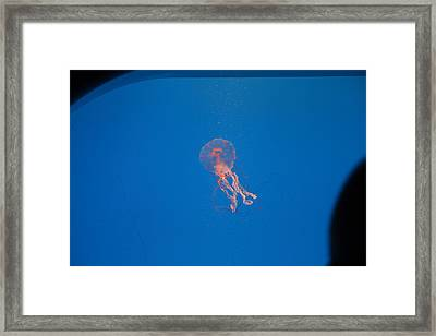 Jellyfish - National Aquarium In Baltimore Md - 121231 Framed Print by DC Photographer