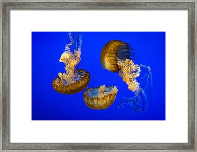 Jellyfish Sea Nettle Marine Life - Ripleys Aquarium Gatlinburg Tn Framed Print by Dave Allen