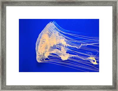 Jellyfish Framed Print by T C Brown