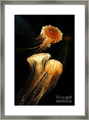 Jellyfish Trio Floating Against A Black Framed Print