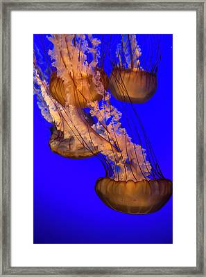 Jellyfish Undulating In Deep Blue Water Framed Print by Sheila Haddad